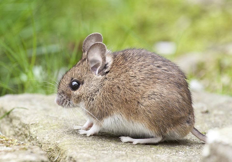 Remèdes à domicile contre l'invasion des rats ou des souris